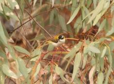 Honeyeater, Black-chinned (golden-backed form)
